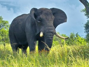 African-Bush-Elephant-2