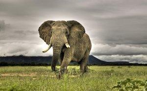African-Bush-Elephant-3